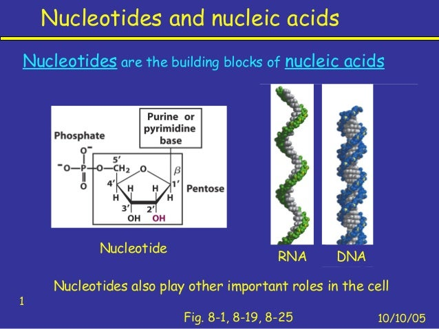 Nucleotides and nucleic acids10/10/051Fig. 8-1, 8-19, 8-25Nucleotides are the building blocks of nucleic acidsNucleotides ...