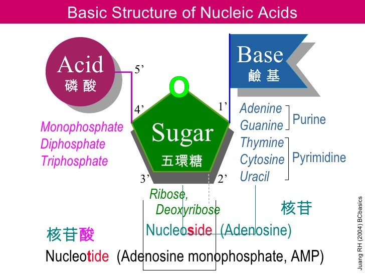 Basic Structure of Nucleic Acids  Acid          5'                                    Base                                ...