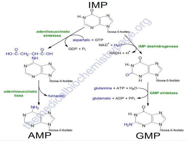 Catabolismo De Los Nucleótidos de Purina • Conduce en última instancia a la producción de ácido úrico que es insoluble y e...