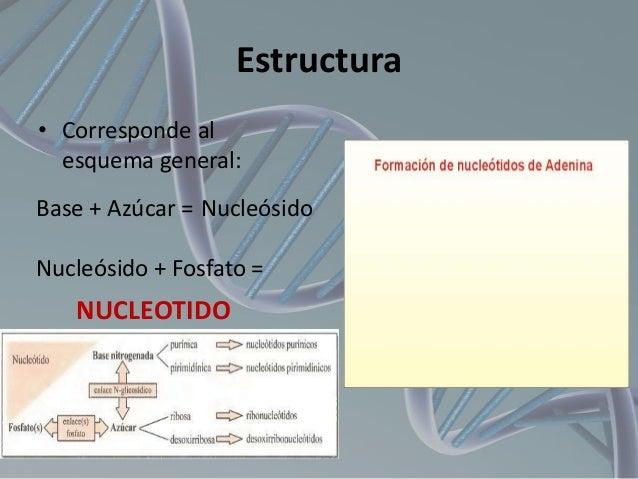 Estructura • Corresponde al esquema general: Base + Azúcar = Nucleósido Nucleósido + Fosfato =  NUCLEOTIDO