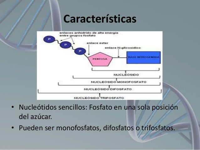 Características  • Nucleótidos sencillos: Fosfato en una sola posición del azúcar. • Pueden ser monofosfatos, difosfatos o...