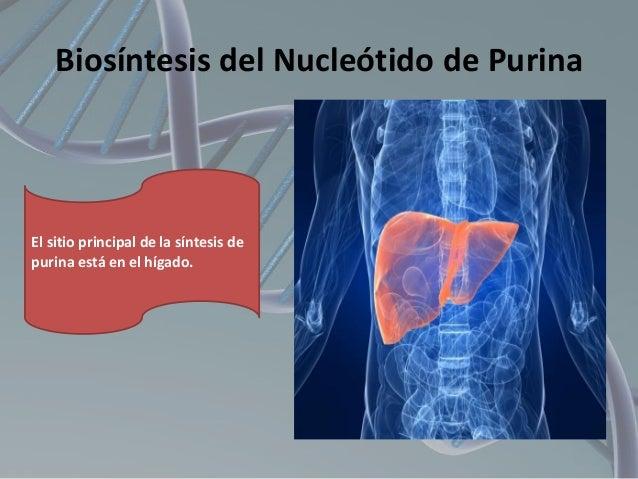 Biosíntesis del Nucleótido de Purina  El sitio principal de la síntesis de purina está en el hígado.