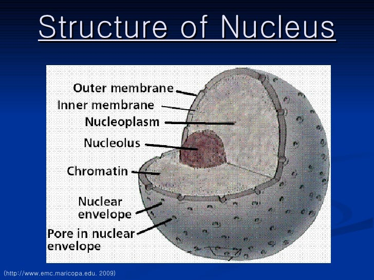 Nucleus ppt structure of nucleus http emcricopa ccuart Image collections