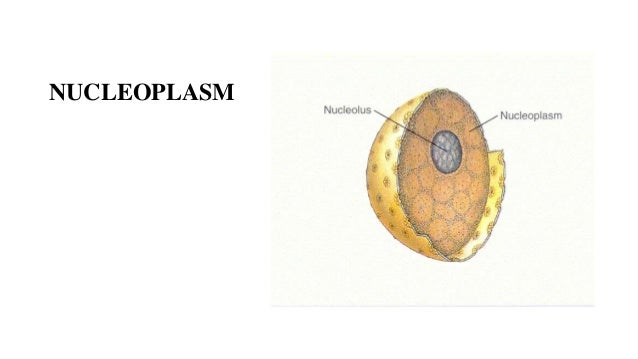 the nucleus and endoplasmic reticulum The endoplasmic reticulum (er) is an interconnected network of branching  tubules  compartmentalization of the nucleus, calcium (ca2+) storage and  release,.