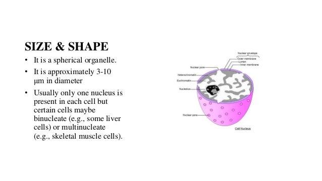 Nucleus & Endoplasmic reticulum