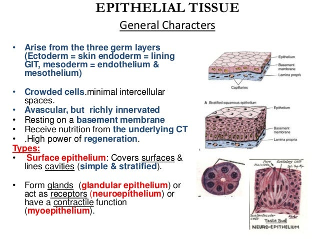 function of epithelial tissue A movement of the body b protection and covering of the body c support of the body d transmits nerve impulses e all of the above are functions of epithelial tissue.