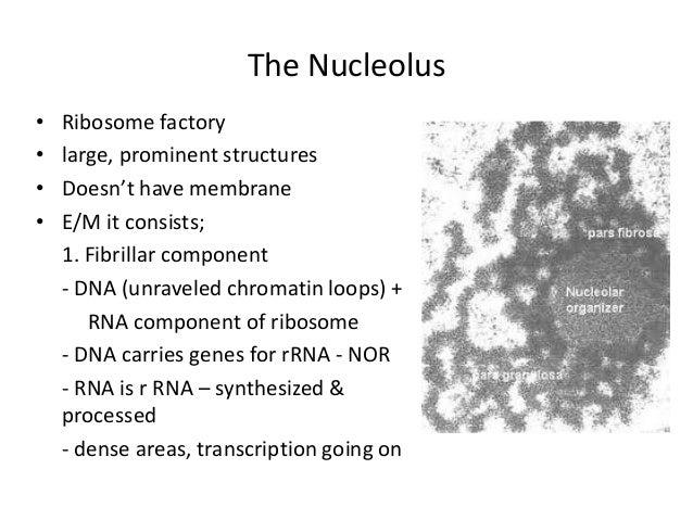 Nucleus  U2013 Morphology  U0026 Function