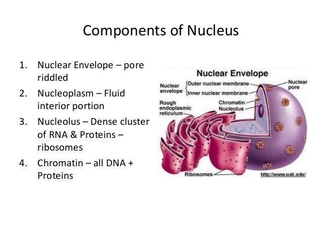 nucleus – morphology & function, Human Body