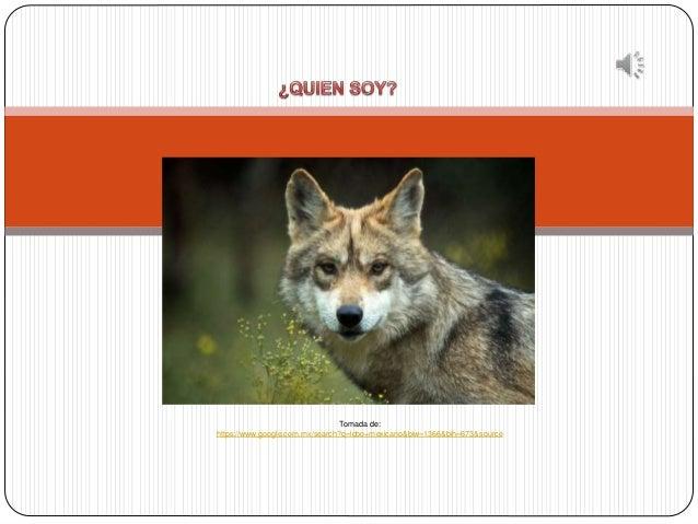Tomada de: https://www.google.com.mx/search?q=lobo+mexicano&biw=1366&bih=673&source