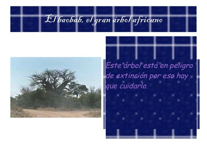 El baobab, el gran árbol africano Este árbol está en peligro de extinción por eso hay que cuidarlo.