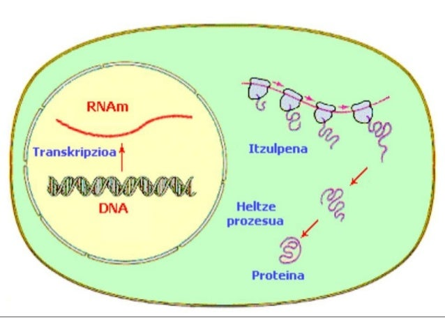 A) Nukleo interfasean B) Nukleoa mitosian