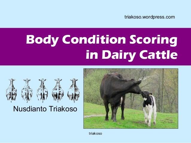 Body Condition Scoring  in Dairy Cattle  Nusdianto Triakoso  triakoso.wordpress.com  triakoso