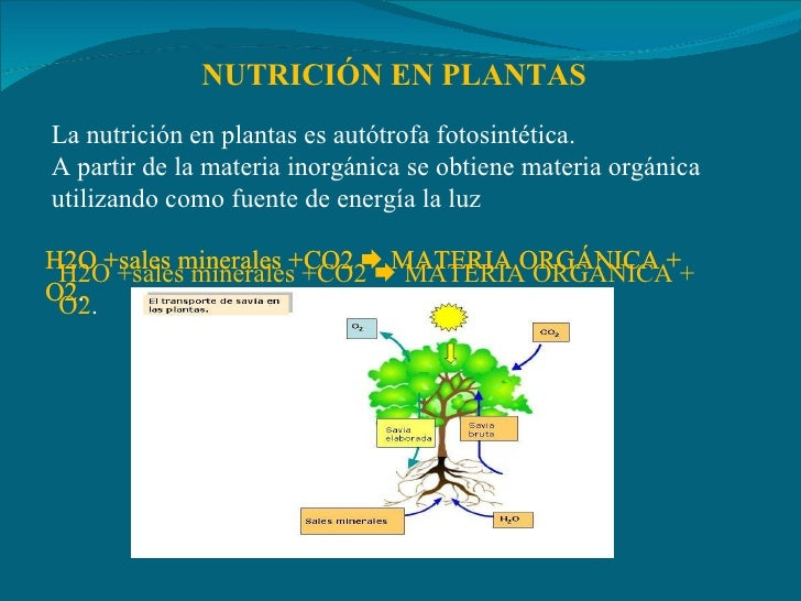 NUTRICIÓN EN PLANTAS La nutrición en plantas es autótrofa fotosintética. A partir de la materia inorgánica se obtiene mate...