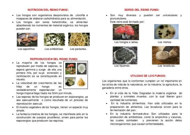 NUTRICION DEL REINO FUNGI:  Los hongos son organismos desprovistos de clorofila e incapaces de elaborar carbohidratos par...