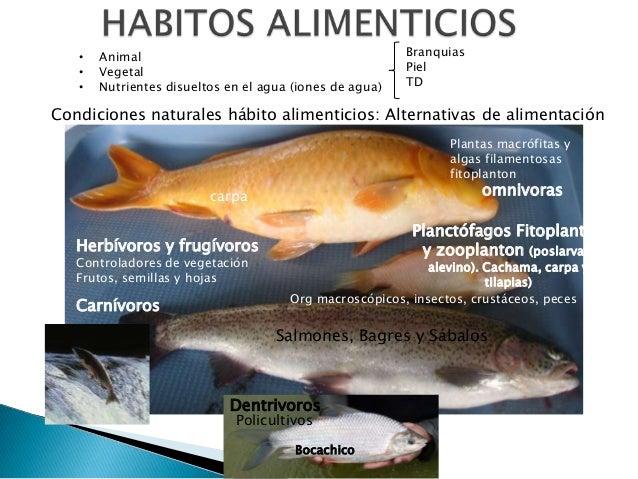 Principios generales en nutricion de peces for Tabla de alimentacion para peces cachama