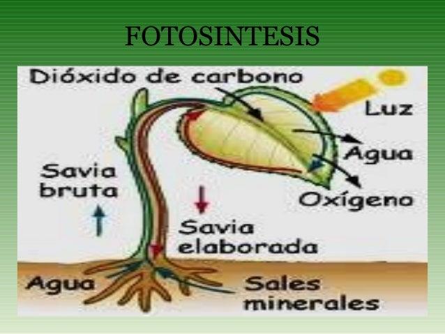 Las plantas en el proceso de la fotosintesis 40