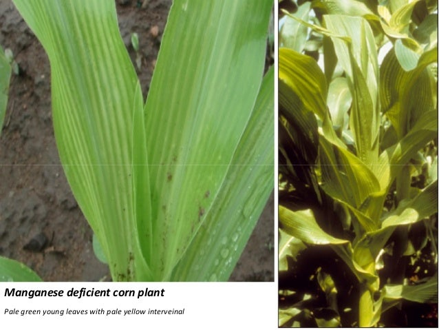 phosphorus deficiency in corn