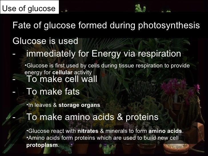Fate of glucose formed during photosynthesis <ul><li>Glucose is used </li></ul><ul><li>immediately for Energy via respirat...