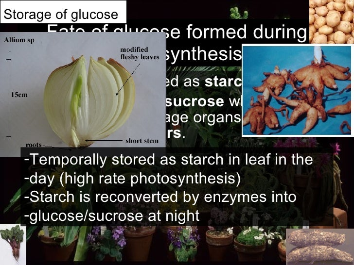 Fate of glucose formed during photosynthesis <ul><li>Glucose can be stored as  starch </li></ul><ul><li>Excess glucose   ...