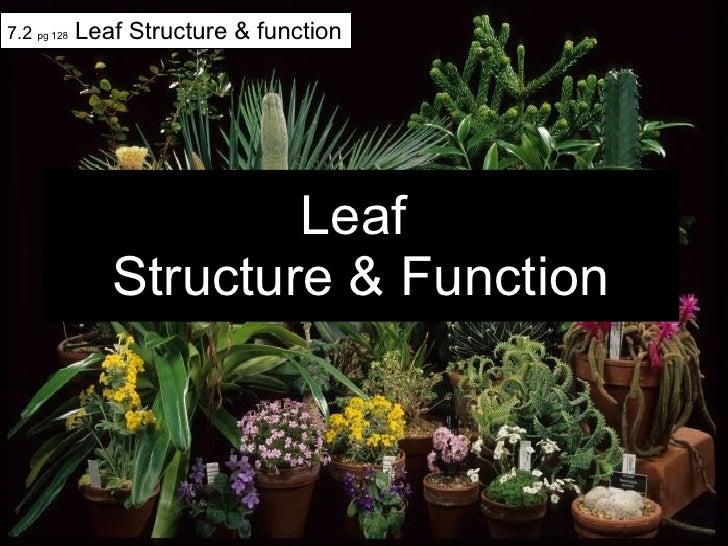 Leaf  Structure & Function 7.2  pg 128  Leaf Structure & function