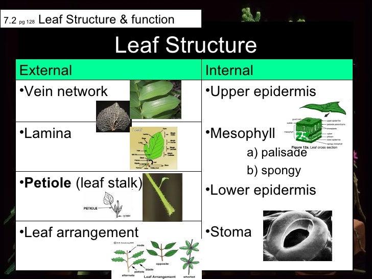 Leaf Structure 7.2  pg 128  Leaf Structure & function <ul><li>Lamina </li></ul><ul><li>Petiole  (leaf stalk) </li></ul><ul...