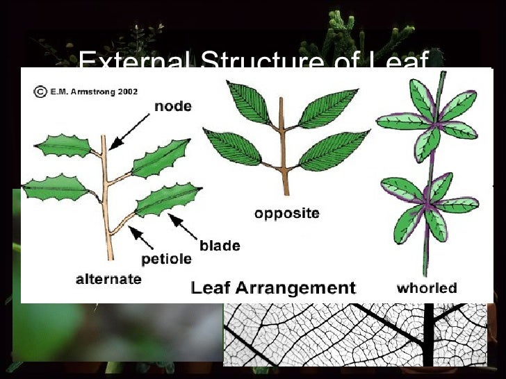 External Structure of Leaf