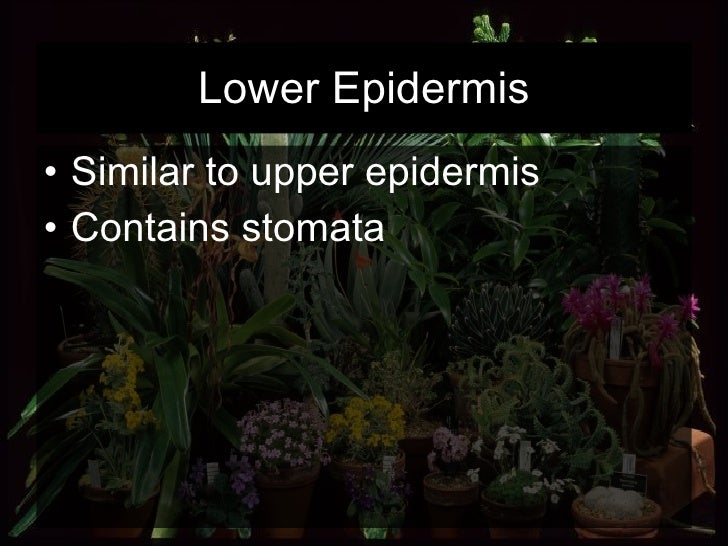 Lower Epidermis <ul><li>Similar to upper epidermis </li></ul><ul><li>Contains stomata </li></ul>