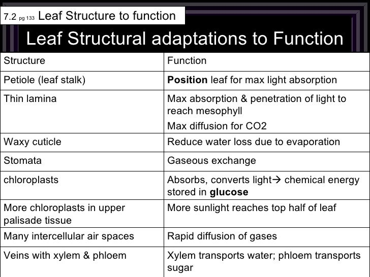 Leaf Structural adaptations to Function 7.2  pg 133  Leaf Structure to function Xylem transports water; phloem transports ...