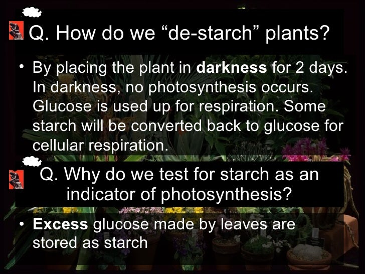 Q. Why do we test for starch as an indicator of photosynthesis? <ul><li>Excess  glucose made by leaves are stored as starc...