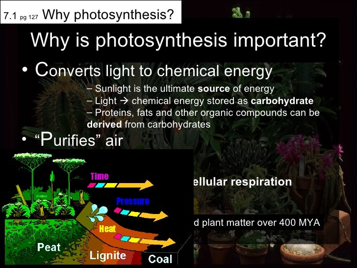 "Why is photosynthesis important? <ul><li>C onverts light to chemical energy </li></ul><ul><li>"" P urifies"" air  </li></ul>..."
