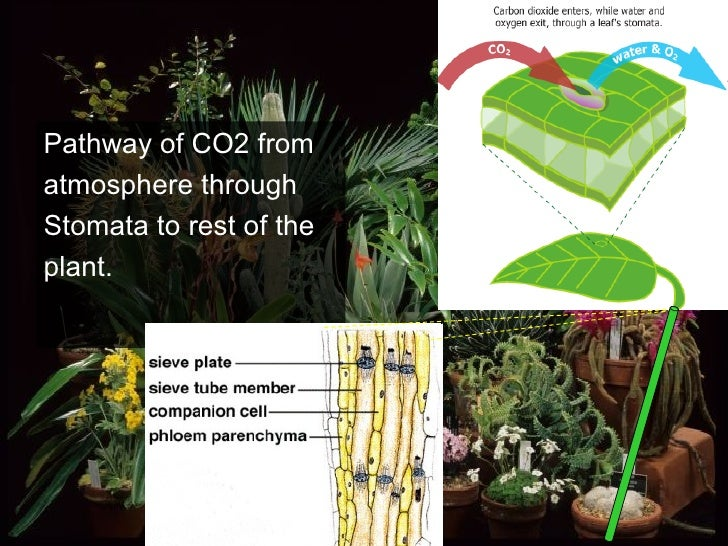 Pathway of CO2 from atmosphere through Stomata to rest of the plant.