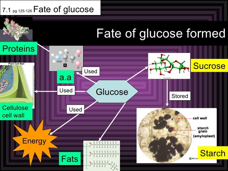 Fate of glucose formed 7.1  pg 125-126  Fate of glucose Glucose Sucrose Energy Used Used Used Stored Starch Fats a.a Prote...