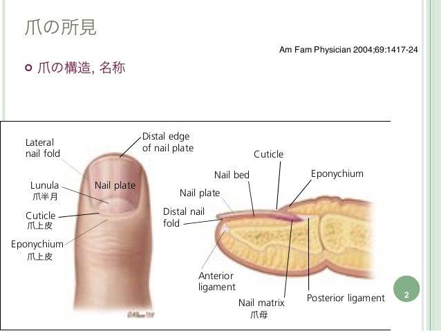 爪の所見                    Am Fam Physician 2004;69:1417-24   爪の構造, 名称    爪半月爪上皮爪上皮                                         ...