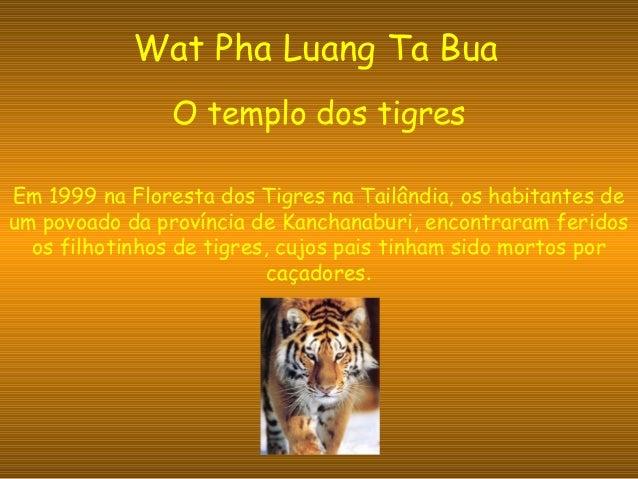 Wat Pha Luang Ta Bua O templo dos tigres Em 1999 na Floresta dos Tigres na Tailândia, os habitantes de um povoado da proví...