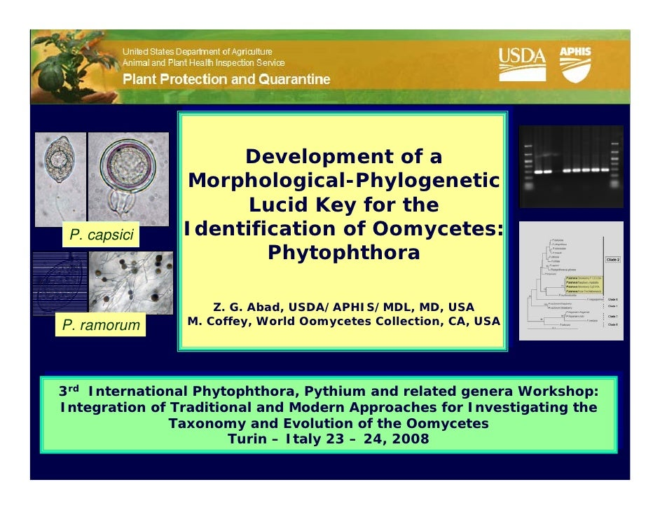 Development of a                 Morphological-Phylogenetic                       Lucid Key for the  P. capsici     Identi...