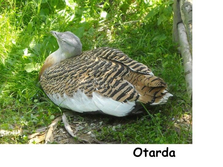 Otarda