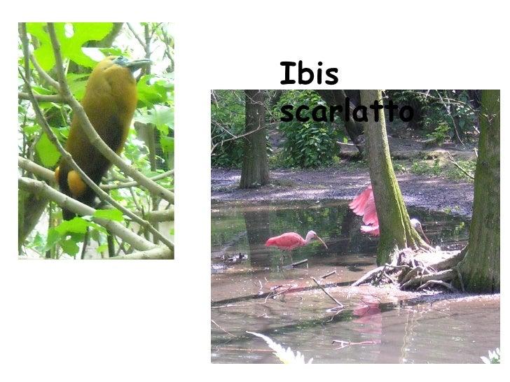 Ibis scarlatto
