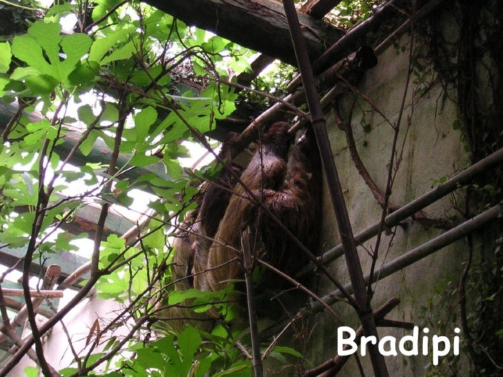 Bradipi