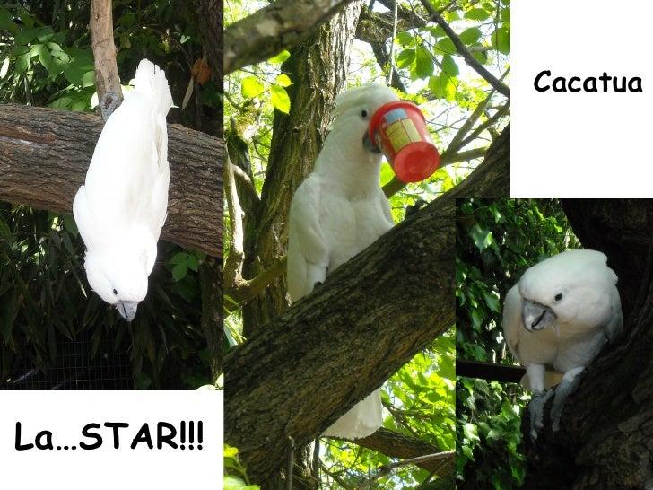 La…STAR!!! Cacatua