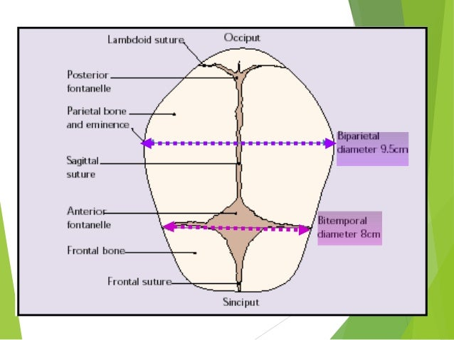 Obstetric anatomy