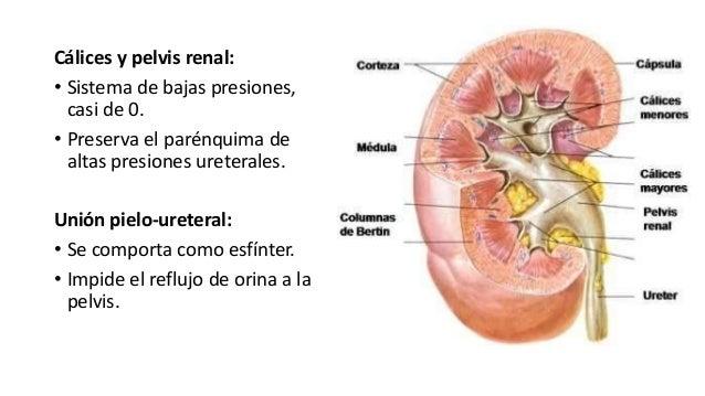 Cálices y pelvis renal: • Sistema de bajas presiones, casi de 0. • Preserva el parénquima de altas presiones ureterales. U...