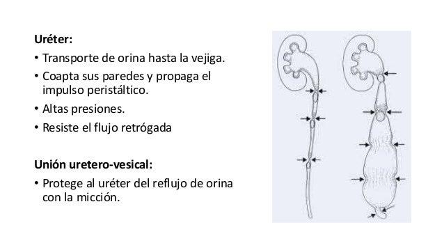 Uréter: • Transporte de orina hasta la vejiga. • Coapta sus paredes y propaga el impulso peristáltico. • Altas presiones. ...