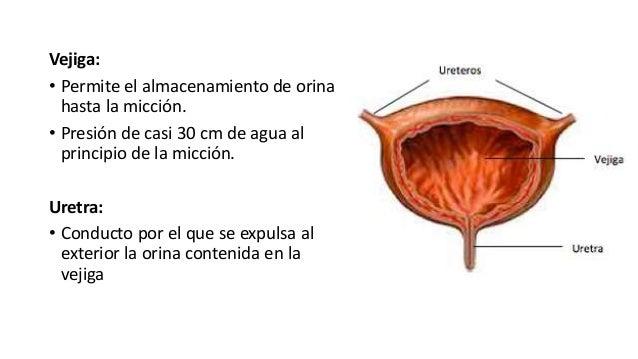Vejiga: • Permite el almacenamiento de orina hasta la micción. • Presión de casi 30 cm de agua al principio de la micción....