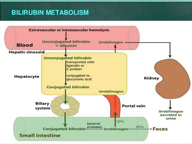 Diagram Of Bilirubin Metabolism Explore Schematic Wiring Diagram