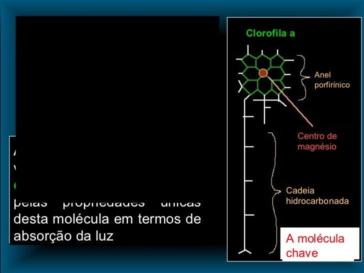 Anel porfirínico Centro de magnésio Cadeia hidrocarbonada Clorofila a A molécula chave A zona esquematizada a verde na mol...