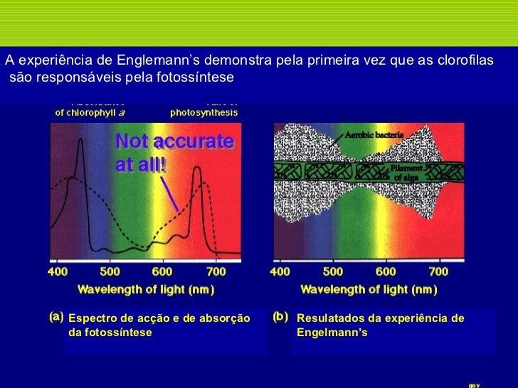 A experiência de Englemann's demonstra pela primeira vez que as clorofilas são responsáveis pela fotossíntese Espectro de ...