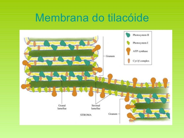 Membrana do tilacóide