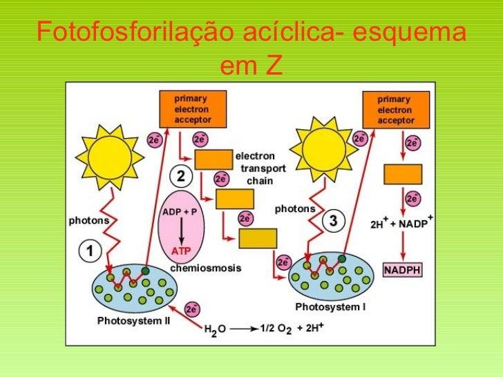 Fotofosforilação acíclica- esquema em Z
