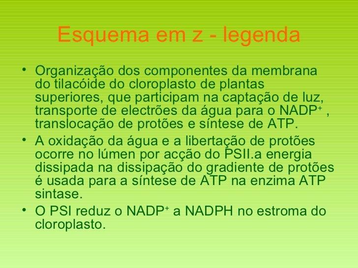 Esquema em z - legenda <ul><li>Organização dos componentes da membrana do tilacóide do cloroplasto de plantas superiores, ...