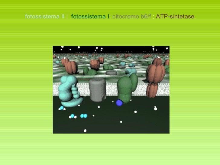 fotossistema II  ;  fotossistema I ;  citocromo b6/f  ;  ATP-sintetase .